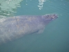 Manatees in the Bight